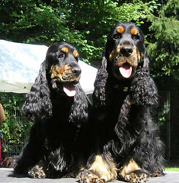 Two black and tan boys ( Samwise Gamdschie z Vejminku &Tom Sawyer z Vejminku ) both sired by my dear William, owned by my friends in Germany.