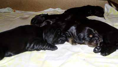 Gemma´s puppies at the age of two weeks.