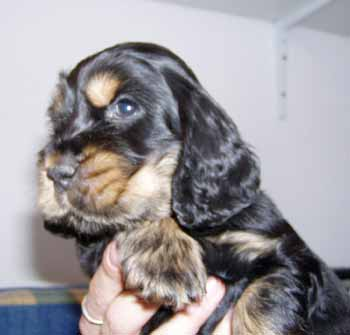 Gemma´s puppies at five and half weeks. Boy