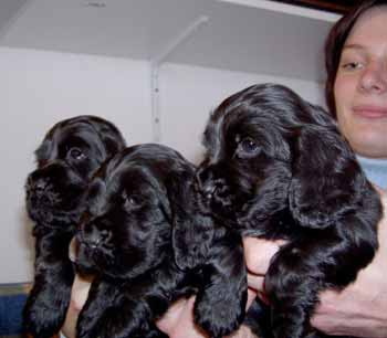Gemma´s puppies at five and half weeks. Girls